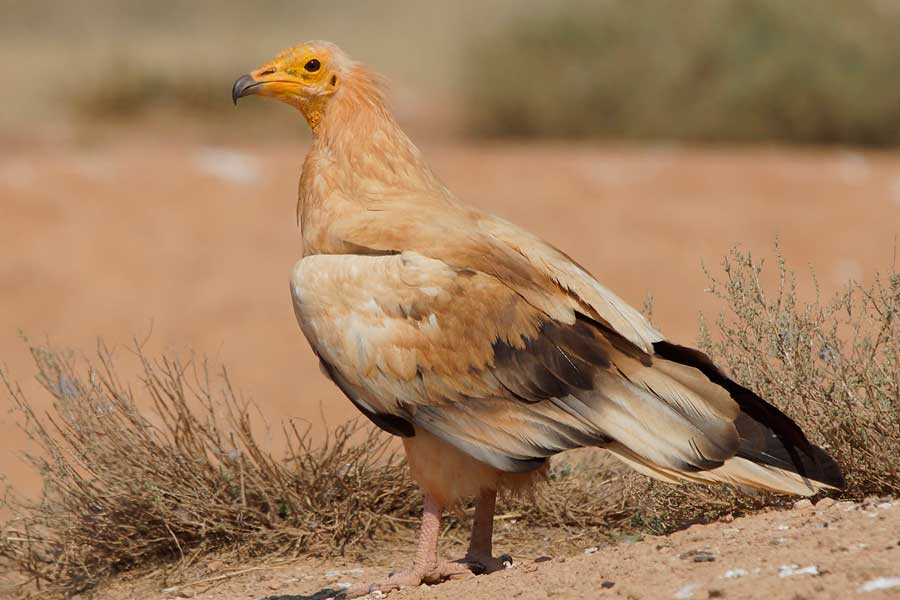 avistamiento-aves-el-chorro-alimoche-comun