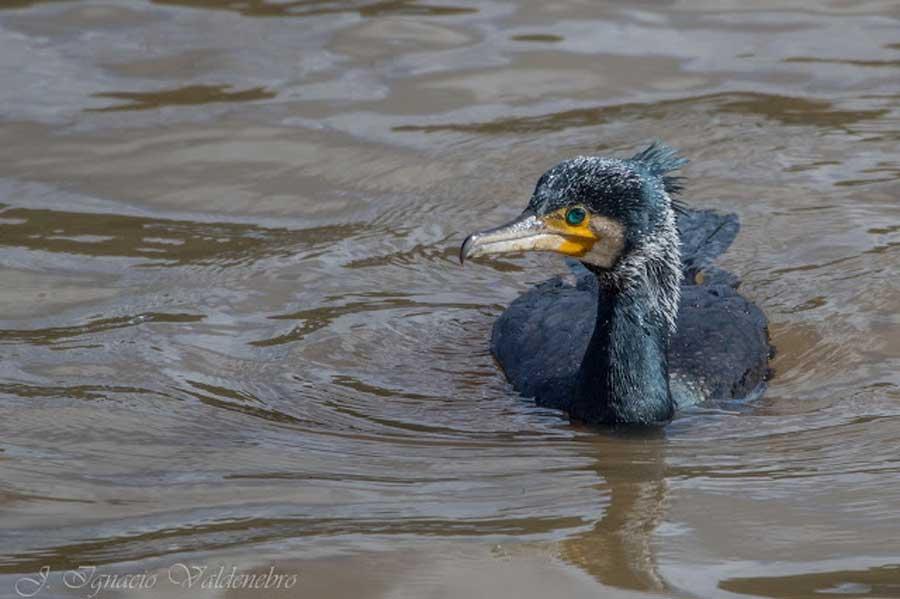 avistamiento-aves-el-chorro-cormoran-grande